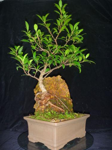 Tiger Bark Fig Bob S Bonsai